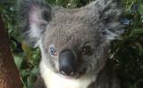 左右の瞳の色が違うコアラが最近、豪州で保護された(australia wildlife warriors)