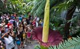2013年7月22日、ワシントンDC州アメリカ植物園で開花したショクダイオオコンニャクに集まる観光客。花は24時間から48時間しか持続せず、その後すぐに崩壊する(PAUL J. RICHARDS/AFP/Getty Images)