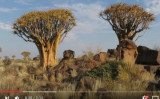 ナミビア共和国の森林には約250種類の見た目が独特な矢筒の木がある(YouTubeのスクリーンショット)