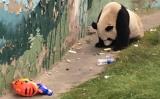 山西省太原市の公営動物園で飼育されているパンダは、来場客から投げ入れられたお菓子やゴミを口にしている。(ネット写真)