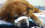 フィラデルフィアの住宅火災で、飼い犬のチェは吠えて、危険を周囲に知らせた(Red Paw Relief Team)