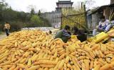 刈り入れたトウモロコシと地方労働者。東北部は人口の危機に直面している(AFP/GettyImages)