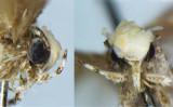 ドナルド・トランプ氏にちなんで名づけられた新種のガ「レオパルパ・ドナルドトランピ(Neopalpa donaldtrumpi)」.(Vazrick Nazari)