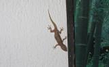 このたびマダガスカル島で発見された新種のヤモリは、捕食者からの攻撃から身を守るためにウロコを脱落させることができるという。その「裸」の姿は生の鶏むね肉のようだ。写真は参考写真、文中の新種ヤモリとは別種(NH53/flickr)