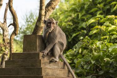 食べ物ではなく携帯品を狙うサルは知能犯。バリ島ルワツ寺院のサル(UWE ARANAS ON WIKIPEDIA)