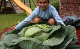 ケイティさんが種から育てた巨大なキャベツ(スクリーンショット)
