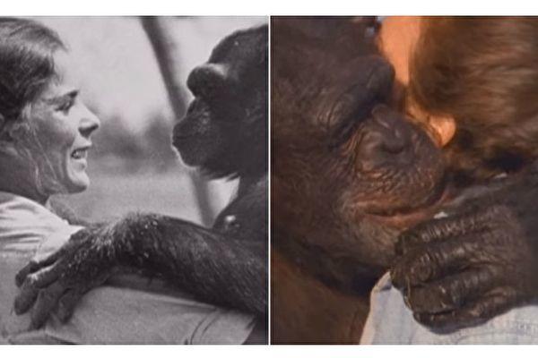 18年ぶりにあったチンパンジーのスイングと抱き合うリンダ・コーブナーさん(スクリーンショット/大紀元)