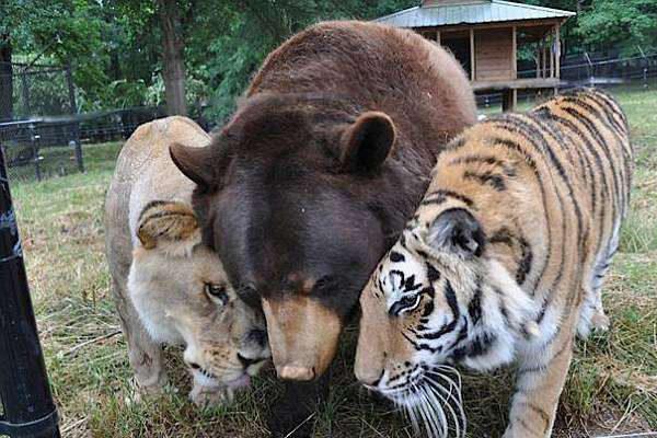「BLT」と呼ばれる仲良し3兄弟。多くのファンが動物園を訪れる(Noah's Ark Animal Sanctuary: home of the BLT/Facebook)