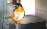 アイリッシュダンスが得意なインコ。緑、白、橙色の体は、アイルランドの国旗と同じ(スクリーンショット)