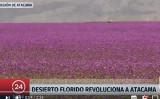 紫の花が咲き乱れるアタカマ砂漠(スクリーンショット)