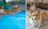 かわいいコーギー犬(samcorgi/Instagram)