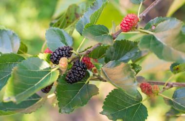 桑の木は、葉、枝、皮、実まですべてが生薬になる(iStock)