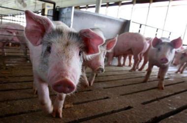 洪水被害を受けている中国南部ではこのほど、アフリカ豚コレラが再び確認された(Scott Olson/Getty Images)
