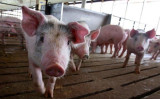 中国当局は5日、黒龍江省ジャムス市郊外で9例目のアフリカ豚コレラ感染が確認されたと発表した(Scott Olson/Getty Images)