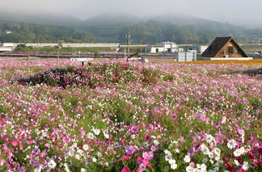 秋が見頃のコスモス(岡山県真庭観光協会ホームページ)