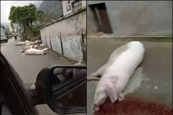 アフリカ豚コレラの発生が相次いで報告されている中国のインターネット上ではこのほど、豚の死骸が路上に放置された様子を映した動画が投稿された(スクリーンショット)