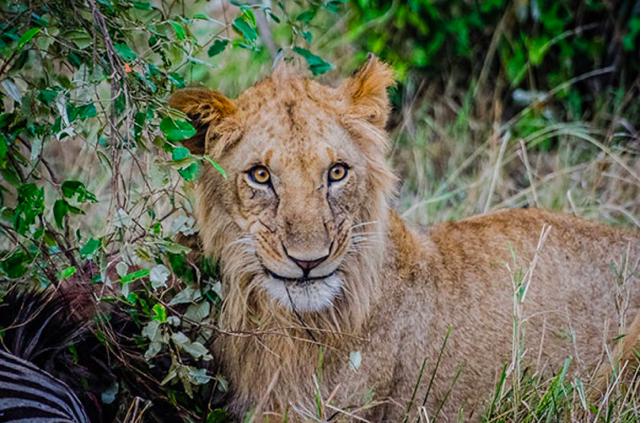 うっとりした顔。ライオンだって恋をする(Luisa Puccini)