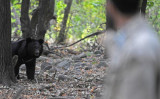 クマの手9200万円相当の密輸容疑で、中国籍3人に有罪判決を下した。写真はインドの自然公園に生きるヒマラヤグマ 参考写真(Getty Images)