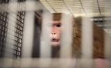 米国ウィスコンシン州の研究室で檻の中にいるサル(参考写真、記事中のサルではありません)(Getty Images)