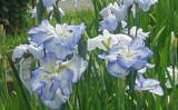 堀切菖蒲園に咲く「宇宙」。手前の青色の花。2015年6月撮影(大紀元)