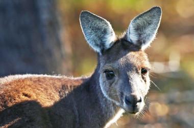 A kangaroo at the Lake Karrinyup Country Club in Perth, Australia, on Feb. 6, 2018. (Paul Kane/Getty Images)