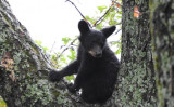 A young black bear climbs a tree. (UFSWS)