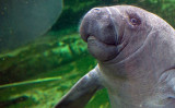 A baby manatee at the Zoo Parc of Beauval, France, on July 19, 2014. (Guillaume Souvant/AFP/Getty Images) ANIMALS