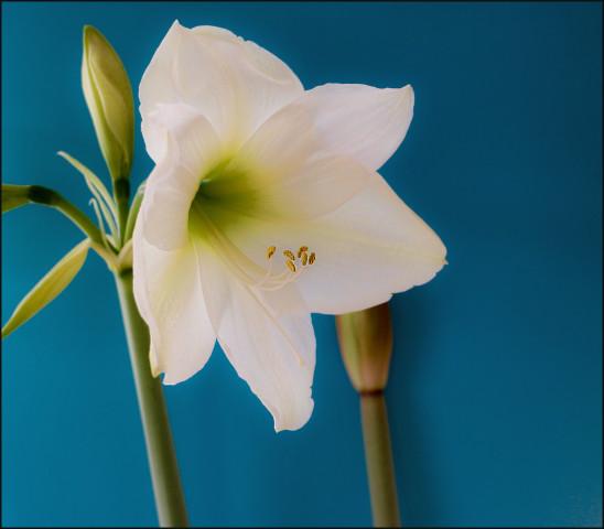 アマリリス、花言葉はプライド(Antony)