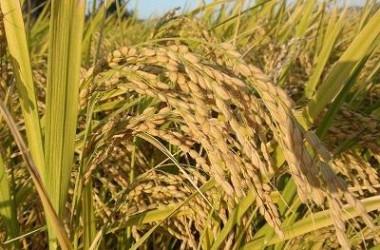 白虎湯の構成生薬の一つは粳米(稲)である(大紀元)