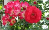 夏のバラ (写真・大紀元)