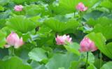 上野・不忍池 の蓮(写真=大紀元)