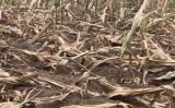中国東北部の遼寧省では、トウモロコシ畑は深刻な干ばつで枯れた(スクリーンショット)