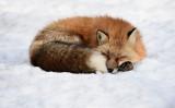雪の上で眠るキツネ。2018年2月、宮城県白石市で撮影(GettyImages)