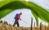 中国では近年、重金属のカドミウムに汚染された米が各地で流通している(STR/AFP via Getty Images)