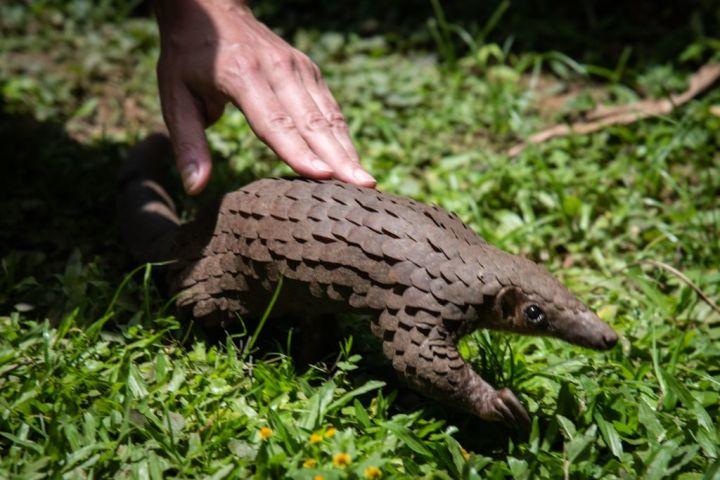 ウガンダで保護団体により飼育・保護されているセンザンコウ(パンゴリン)、参考写真(GettyImages)