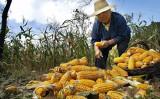 中国北京市郊外のトウモロコシ畑(FREDERIC BROWN / AFP)