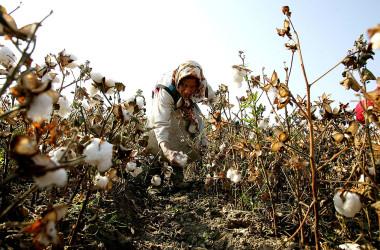 新疆ウイグル自治区で綿花の収穫を行う女性、2005年撮影(Guang Niu/Getty Images)