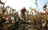 新疆ウイグル自治区で綿花を採集する女性(AFP/Getty Images)