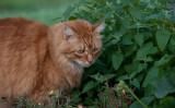 岩手大学らの共同研究で、ネコのマタタビ反応の謎が解明した。参考写真(Dwight Sipler)