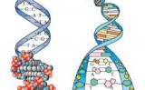DNAの分子構造とDNAの二重らせん構造の模型(イラスト=大紀元)