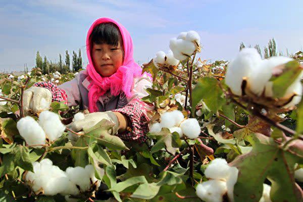 中国・新疆ウイグル自治区コルラの綿花畑で綿花を摘む労働者(STR/AFP via Getty Images)