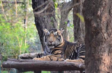 イメージ写真 黒い虎、ブラックタイガー(Shutterstock)
