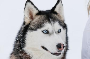 テキサス州の男性が道端に捨てたハスキー犬。 間一髪で救出されたこのかわいそうな犬は、今では新しい家族を見つけました( areporter / PIXTA)