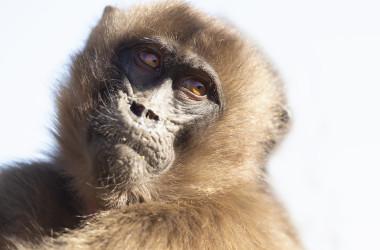 現在は中共ウイルス(武漢肺炎)が流行しているため、島を訪れる観光客の数は激減し、観光客が地元の猿に与える餌の量も減っており、 今では、お腹を空かせたサルたちが、お腹を満たすための食べ物を求めて村を襲うようになったようです。( Giedrius / PIXTA)