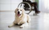 血糖アラート犬(糖尿病警報犬)という、重要な任務をもつ犬がいます(Kostiantyn Postumitenko / PIXTA)