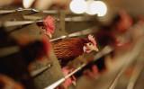 飼育されている鶏、参考写真 (Photo by Jamie McDonald/Getty Images)