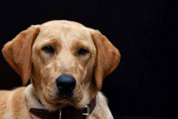 人間の良い友である犬の鼻は、肺がんや前立腺がんなど、人間の多くの病気を発見することができる(Bjorn999 / PIXTA)