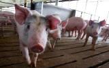 群馬県は19日、前橋市内の農場で家畜感染病の豚熱(CSF)の感染が確認されたと発表した。参考写真(Getty Images)