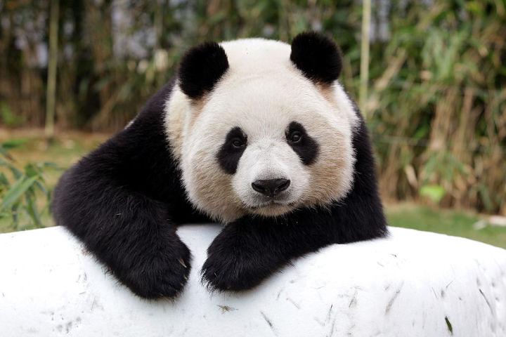 韓国の動物園で飼育されているジャイアントパンダ、参考写真 (Photo by Chung Sung-Jun/Getty Images)